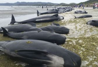 Hallan 300 ballenas muertas en bahía Golden, Nueva Zelanda