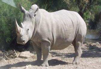 Apuestan por células madres para salvar al casi extinto rinoceronte blanco