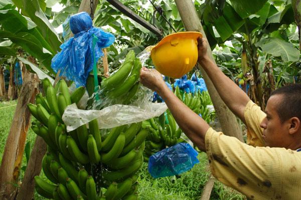 Plátano y banano