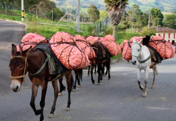 Los animales de carga siguen siendo utilizados para sacar los productos agrícolas de las veredas.