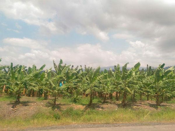 plátano web