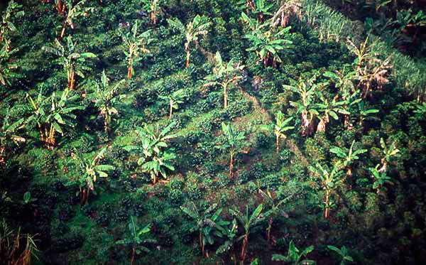 Cultivo de plátano asociado a café, en Cañasgordas.