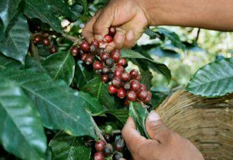 Manos cosechando café.